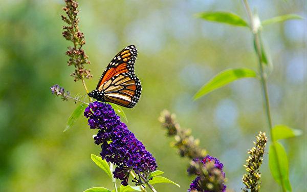 Картинки Данаида монарх Бабочки Насекомые Животные 600x375 бабочка насекомое животное