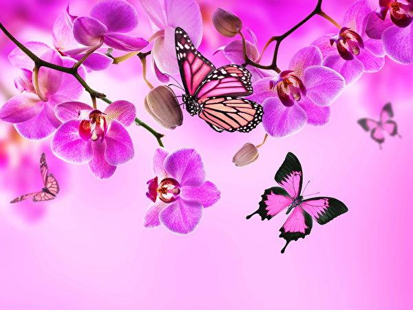 Фотография Данаида монарх Бабочки Орхидеи Розовый Цветы 600x450