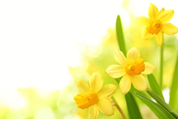 обои мальва цветы