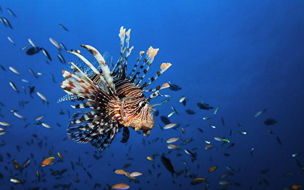 Картинки Рыбы Подводный мир lionfish животное 600x375 Животные