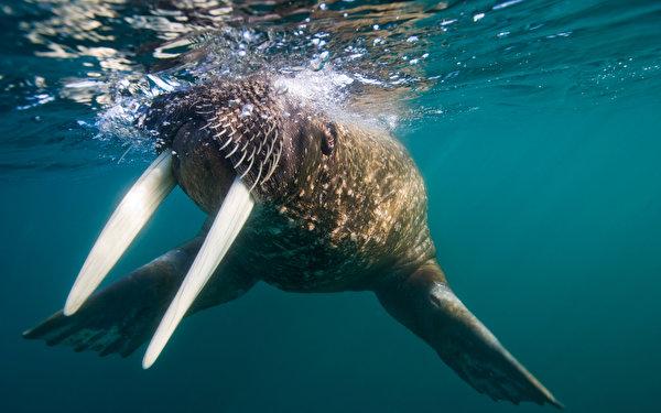 Обои для рабочего стола Подводный мир Морские котики животное 600x375 Тюлени Животные