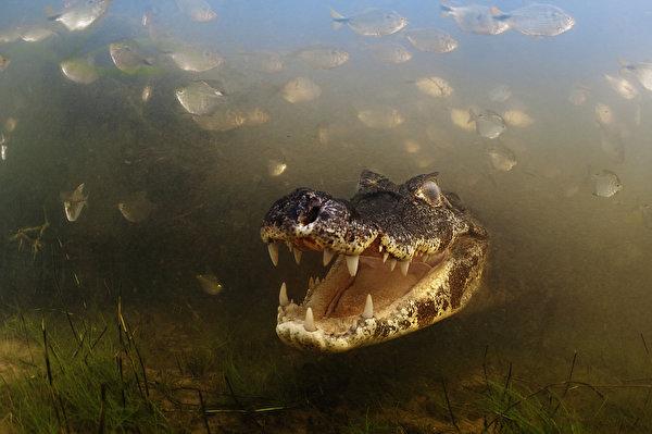 Картинки Крокодилы Подводный мир Животные 600x399 крокодил животное