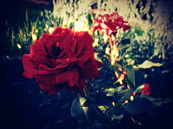 Фотографии Розы бордовая цветок вблизи 600x450 роза Бордовый бордовые темно красный Цветы Крупным планом