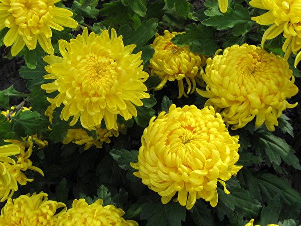 Фотография Желтый Цветы Хризантемы Крупным планом 600x450 желтая желтые желтых цветок вблизи