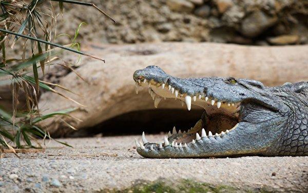 Обои рабочего стола крокодилы 5