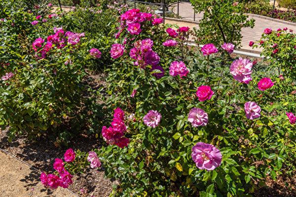 Фото штаты South Coast Botanic Garden Розы Цветы Кусты 600x400 США америка роза цветок кустов