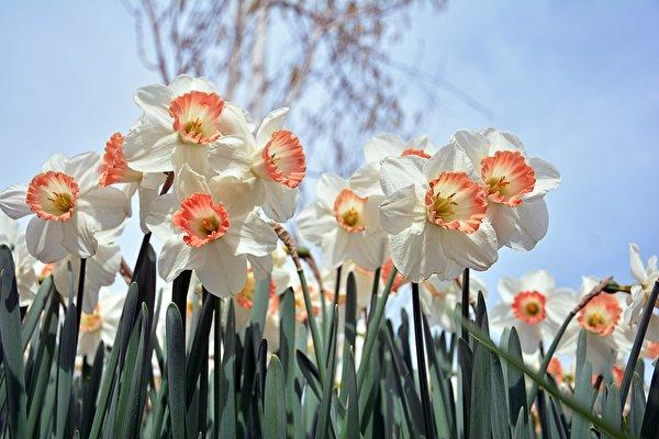 Фотографии Белый Цветы Нарциссы Крупным планом 600x400 белая белые белых цветок вблизи