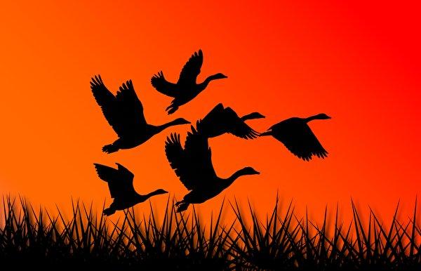 Фото Гуси птица силуэта летят Животные Векторная графика 600x386 гусь Птицы Силуэт силуэты Полет летит летящий животное