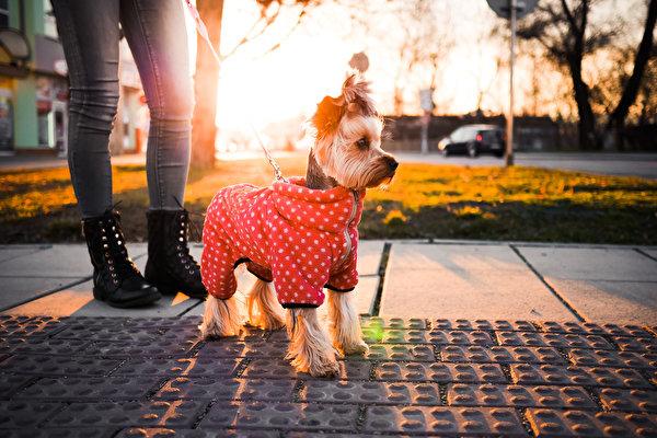 Фотографии Йоркширский терьер Собаки Животные 600x400 собака животное