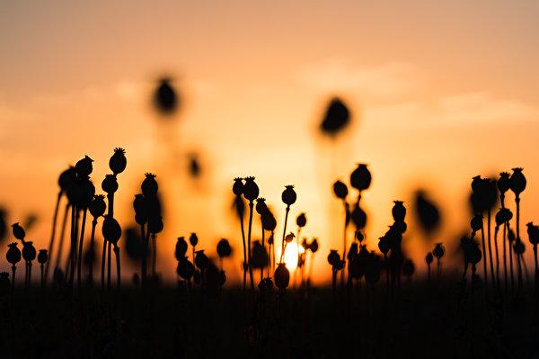 Картинки силуэта Природа мак рассвет и закат 600x399 Силуэт силуэты Маки Рассветы и закаты