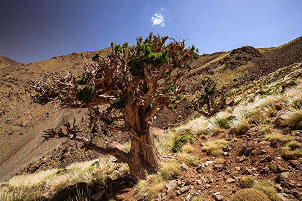 Обои для рабочего стола Африка Марокко Juniper Tree Природа Камни Деревья 600x400 Камень дерево дерева деревьев