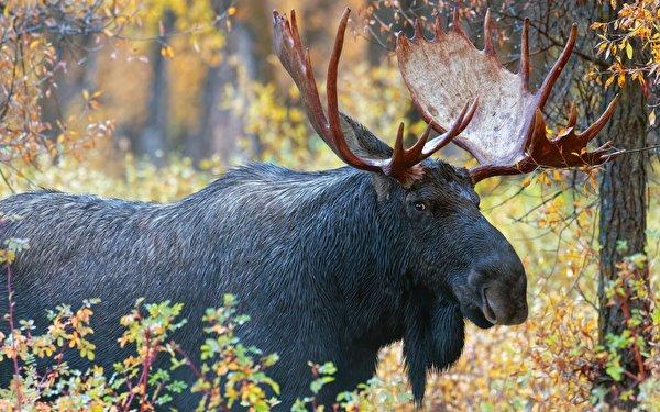 Фотография Лоси с рогами животное 600x375 Рога Животные