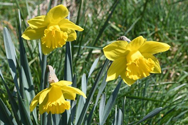 Фото желтая Цветы Нарциссы Крупным планом 600x400 Желтый желтые желтых цветок вблизи
