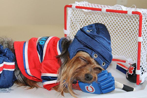 Фотографии Йоркширский терьер Собаки Хоккей униформе Животные 600x400 собака Униформа животное