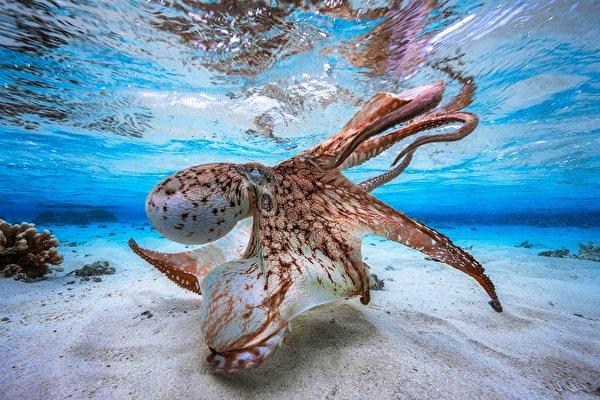Картинки Осьминоги Подводный мир песке Животные 600x400 осминог песка Песок животное