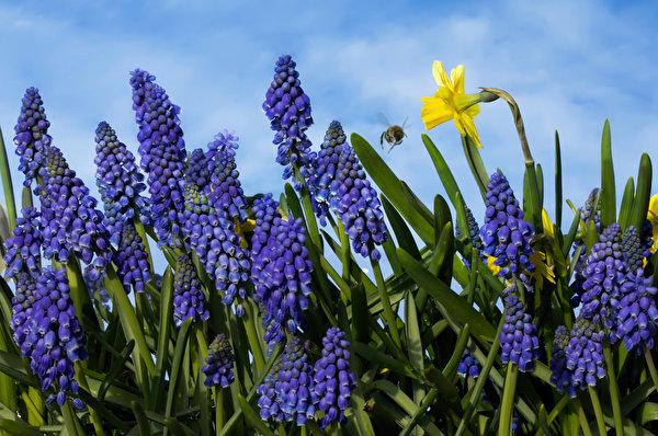 Фотографии Muscari Цветы Нарциссы Гиацинты Крупным планом 600x398 цветок вблизи