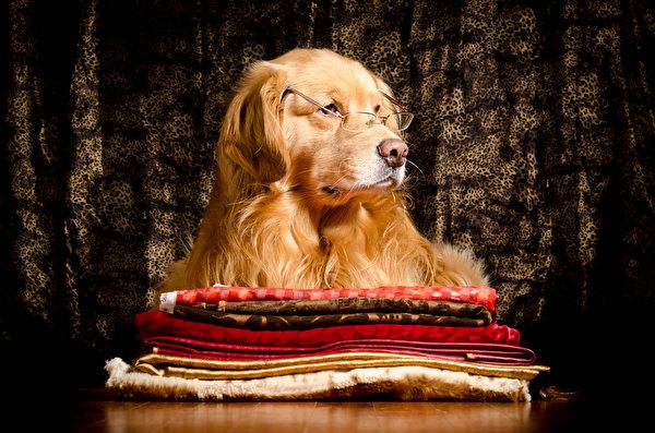 Фотография Золотистый ретривер Собаки очков животное 600x397 собака Очки очках Животные