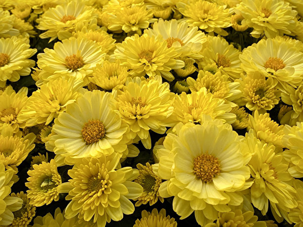Фотографии желтые Астры Цветы Много Крупным планом 600x450 желтая Желтый желтых цветок вблизи