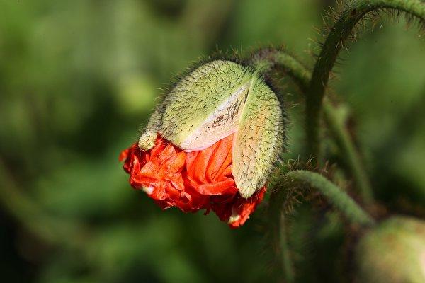 Фото боке Маки Цветы Бутон вблизи 600x400 Размытый фон мак цветок Крупным планом