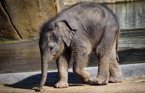 Обои для рабочего стола слон Детеныши Животные 600x383 Слоны животное