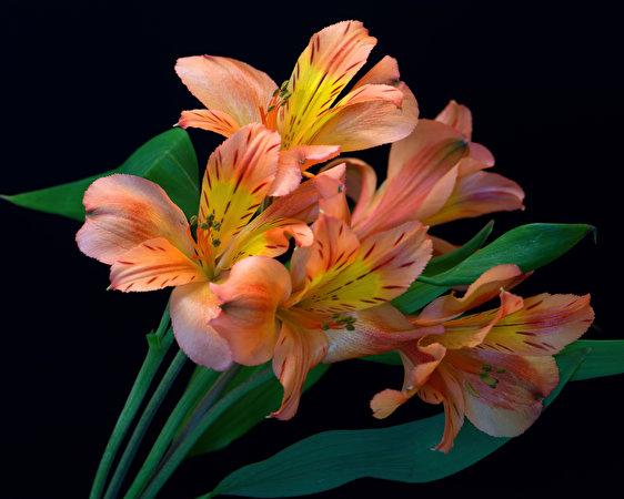 Фотографии Цветы Альстрёмерия вблизи Черный фон 562x450 цветок на черном фоне Крупным планом