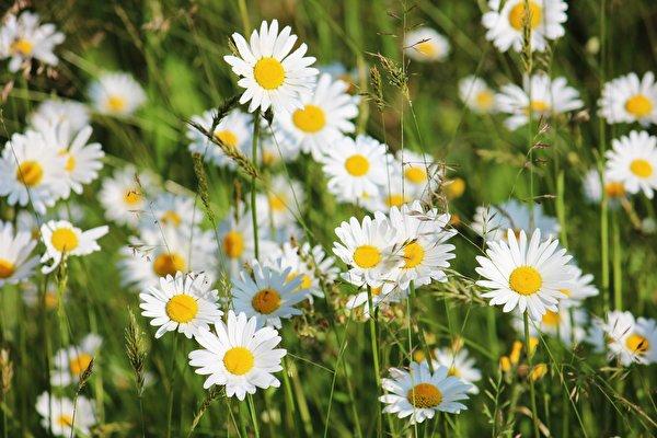 Картинка Размытый фон цветок ромашка Крупным планом 600x400 боке Цветы Ромашки вблизи