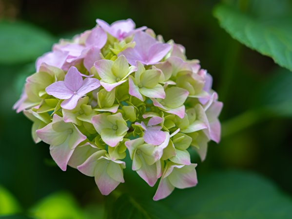 Картинки Размытый фон Цветы Гортензия Крупным планом 599x450 боке цветок вблизи