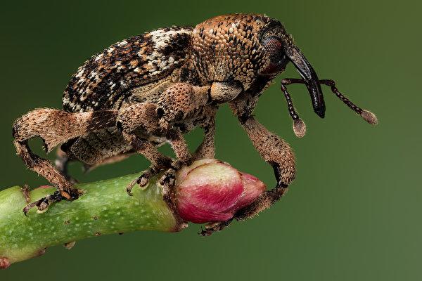 Фотографии Жуки Насекомые weevil вблизи животное 600x400 насекомое Животные Крупным планом