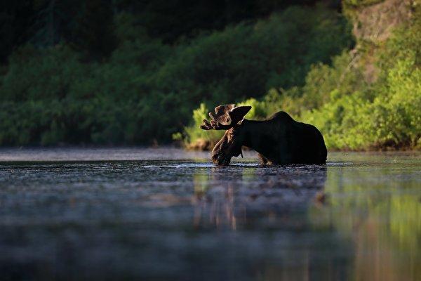 Картинки Лоси Вода Животные 600x400 воде животное