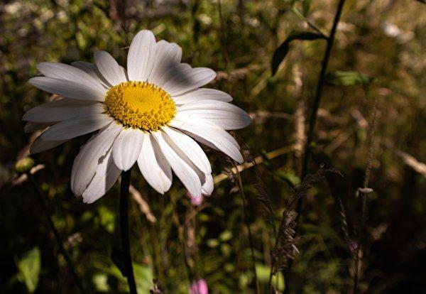 Фотографии Размытый фон Цветы Ромашки Крупным планом 600x414 боке цветок ромашка вблизи