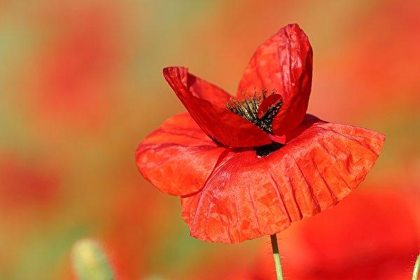 Картинка боке красная мак цветок вблизи 600x400 Размытый фон Красный красные красных Маки Цветы Крупным планом