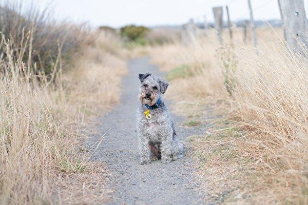 Картинка собака Lakeland Terrier Тропа траве сидящие Взгляд животное 600x400 Собаки тропы тропинка сидя Трава Сидит смотрит смотрят Животные