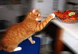 Фотографии Кошки Раки Рыжий Хитрый Животные