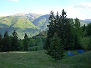 Обои Пейзаж Горы Украина Деревья Ель Трава Закарпатье