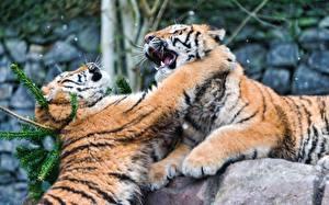 Фотографии Большие кошки Тигры Дерутся Лап Ударяет Животные