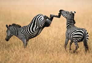 Фото Зебра Траве Дерется Удар Животные