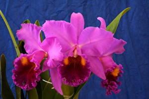 Картинки Орхидеи Фиолетовых Цветы