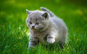 Картинки Кошки Серый Котята Пушистый Жирный Трава Животные