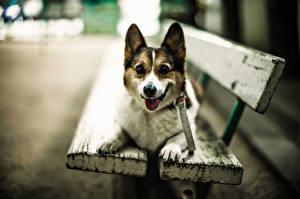 Обои Собака Скамья Смотрят Вельш-корги животное