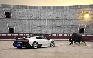 Фотография Lamborghini Быки Белый murcielago lp670-4 sv Авто Животные
