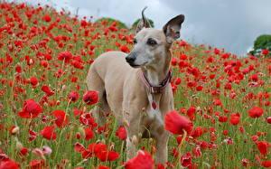 Обои Собака Мак Грейхаунд животное Цветы