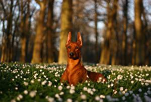 Картинки Собака Пинчер животное