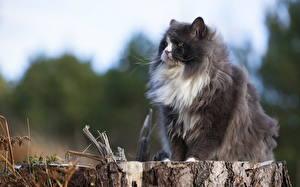 Фото Кошки Пушистая Сидит Пне Животные