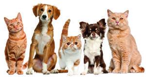 Фотография Кошки Собаки Сидя Чихуахуа Животные