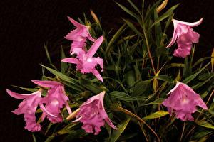Фотографии Орхидеи Фиолетовая Цветы