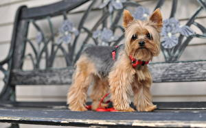 Фотографии Собаки Скамья Йоркширский терьер животное
