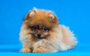 Фотография Собака Пушистые Смотрит Шпиц животное