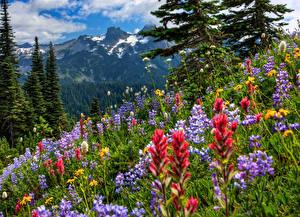 Фотографии Горы Пейзаж Парки США Маунт-Рейнир парк Цветы