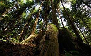 Фотографии Лес Деревья Пне Мха Природа