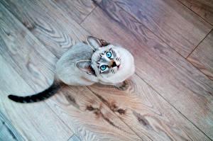Фотография Коты Паркет Сидящие Животные